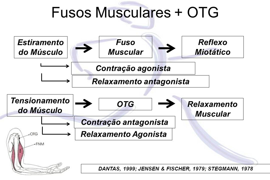 Fusos Musculares + OTG Estiramento do Músculo Fuso Muscular