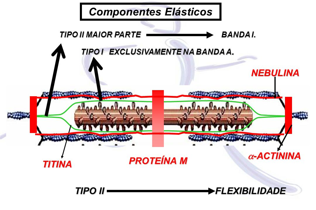 Componentes Elásticos