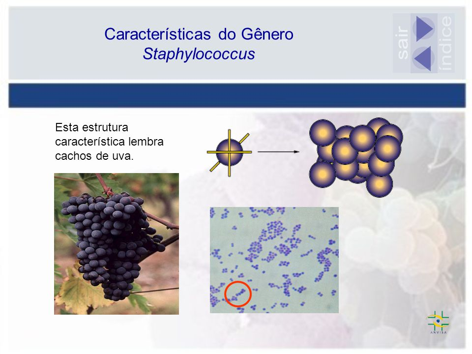 Características do Gênero Staphylococcus