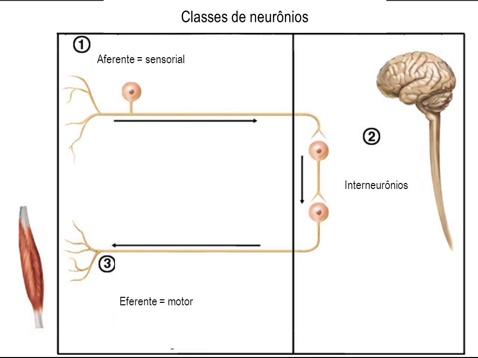 Classes de neurônios Aferente = sensorial Interneurônios