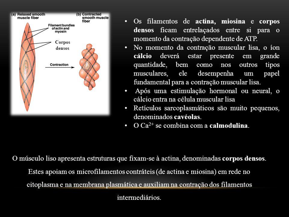 Retículos sarcoplasmáticos são muito pequenos, denominados cavéolas.