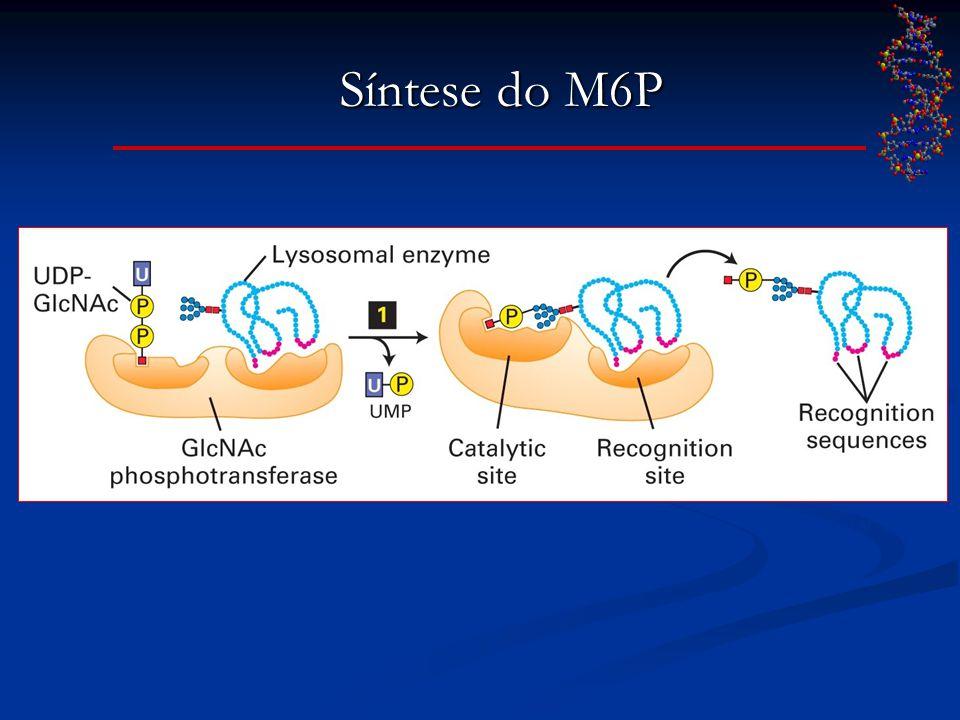 Síntese do M6P LODISH et al., 2005