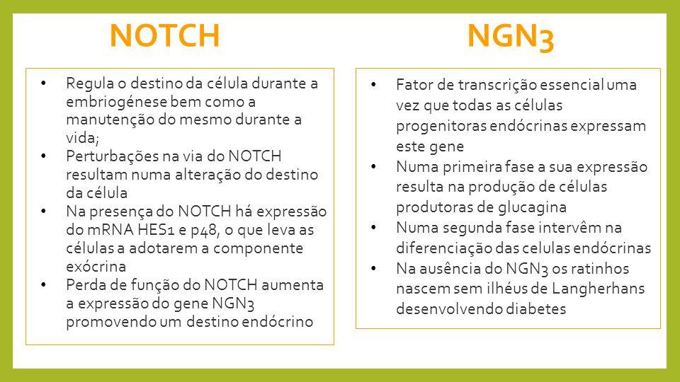 NOTCH NGN3. Regula o destino da célula durante a embriogénese bem como a manutenção do mesmo durante a vida;