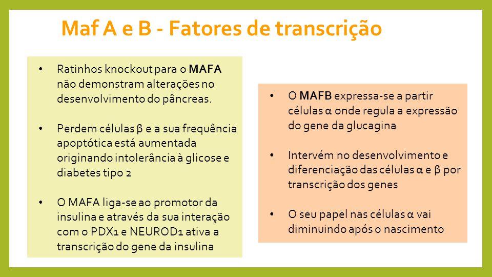 Maf A e B - Fatores de transcrição
