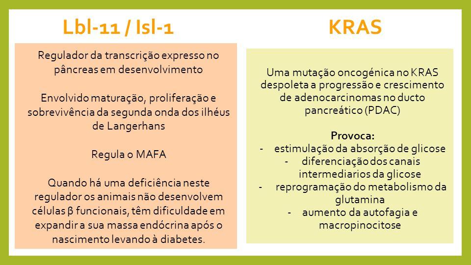 Lbl-11 / Isl-1 KRAS Regulador da transcrição expresso no pâncreas em desenvolvimento.