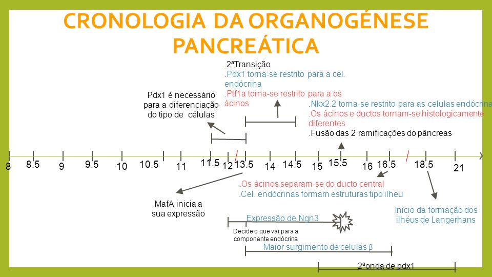 CRONOLOGIA DA ORGANOGÉNESE PANCREÁTICA