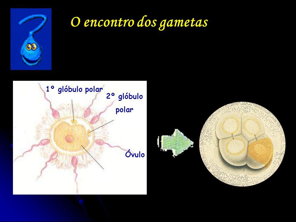 O encontro dos gametas 2º glóbulo polar 1º glóbulo polar Óvulo