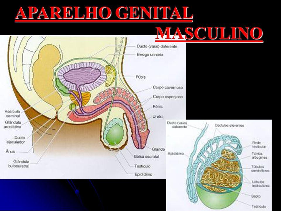 APARELHO GENITAL MASCULINO
