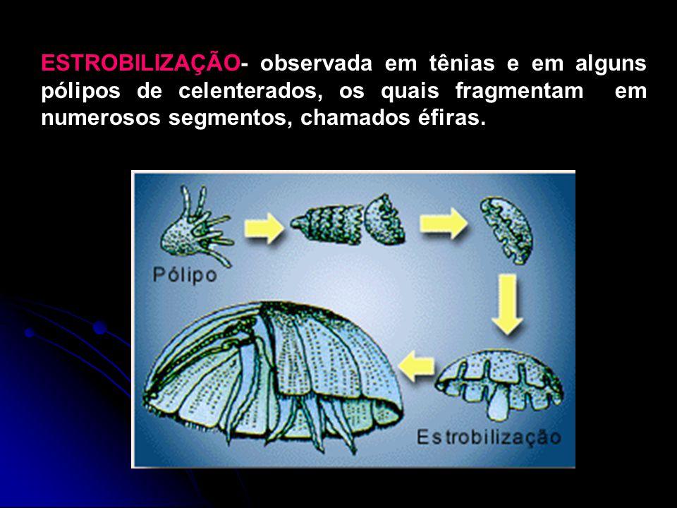 ESTROBILIZAÇÃO- observada em tênias e em alguns pólipos de celenterados, os quais fragmentam em numerosos segmentos, chamados éfiras.