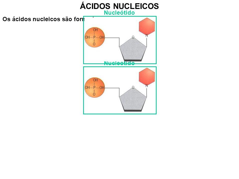 ÁCIDOS NUCLEICOS Nucleótido Os ácidos nucleicos são formados por: