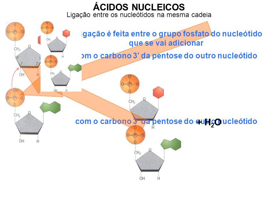 ÁCIDOS NUCLEICOS Ligação entre os nucleótidos na mesma cadeia. A ligação é feita entre o grupo fosfato do nucleótido que se vai adicionar.