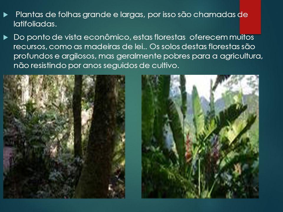 Plantas de folhas grande e largas, por isso são chamadas de latifoliadas.