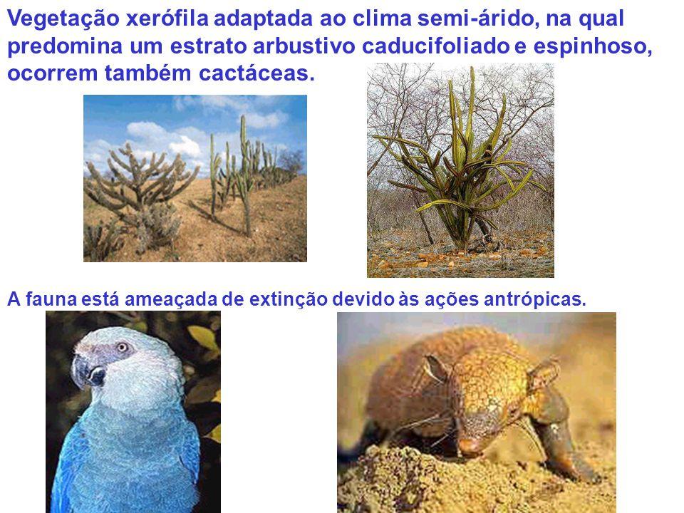 Vegetação xerófila adaptada ao clima semi-árido, na qual predomina um estrato arbustivo caducifoliado e espinhoso, ocorrem também cactáceas.