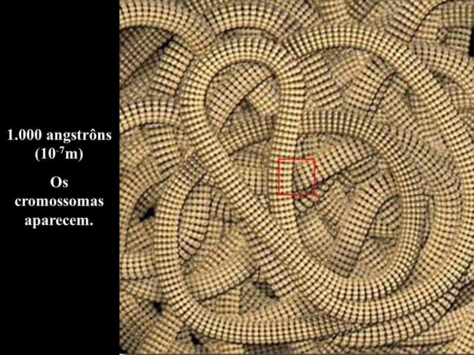 Os cromossomas aparecem.
