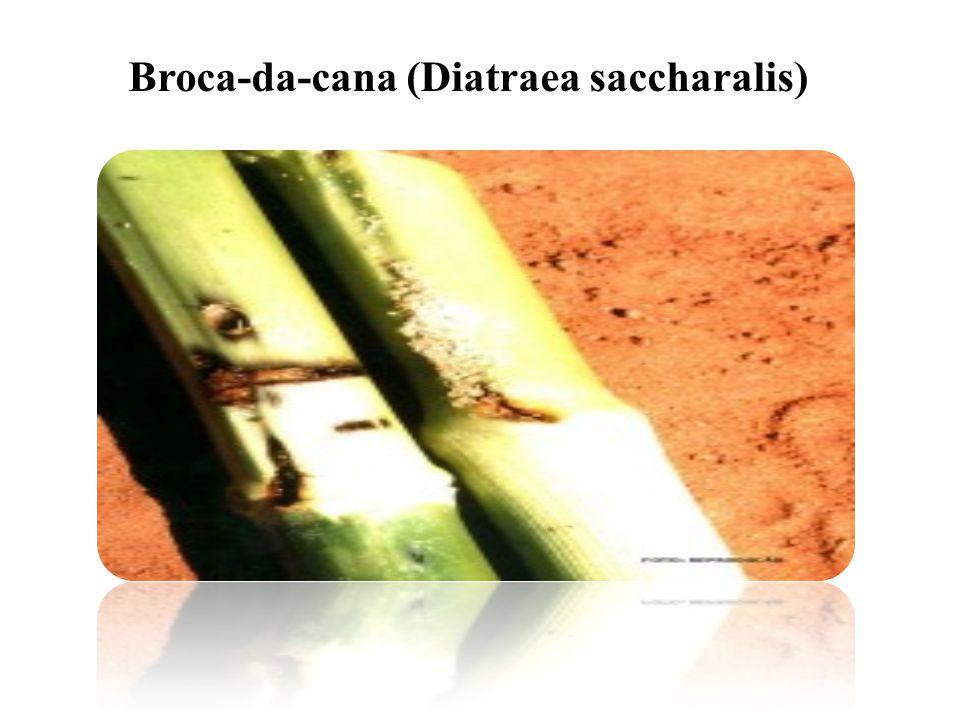 Broca-da-cana (Diatraea saccharalis)