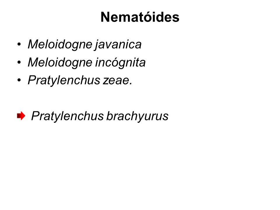 Nematóides Meloidogne javanica Meloidogne incógnita Pratylenchus zeae.