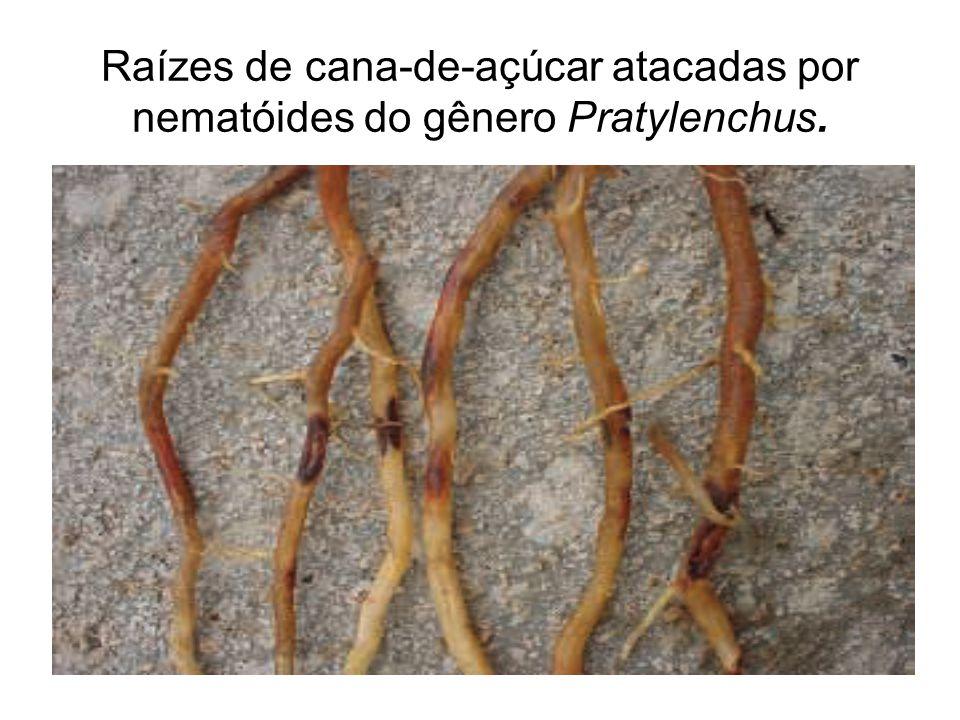 Raízes de cana-de-açúcar atacadas por nematóides do gênero Pratylenchus.