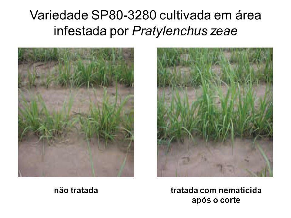 Variedade SP80-3280 cultivada em área infestada por Pratylenchus zeae