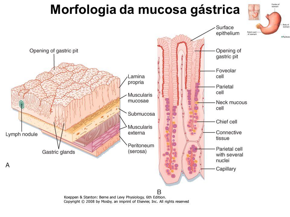 Morfologia da mucosa gástrica