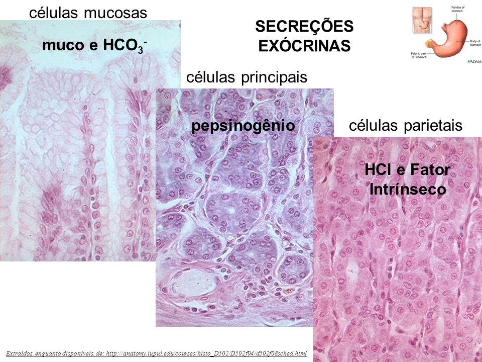 SECREÇÕES EXÓCRINAS muco e HCO3- pepsinogênio HCl e Fator Intrínseco