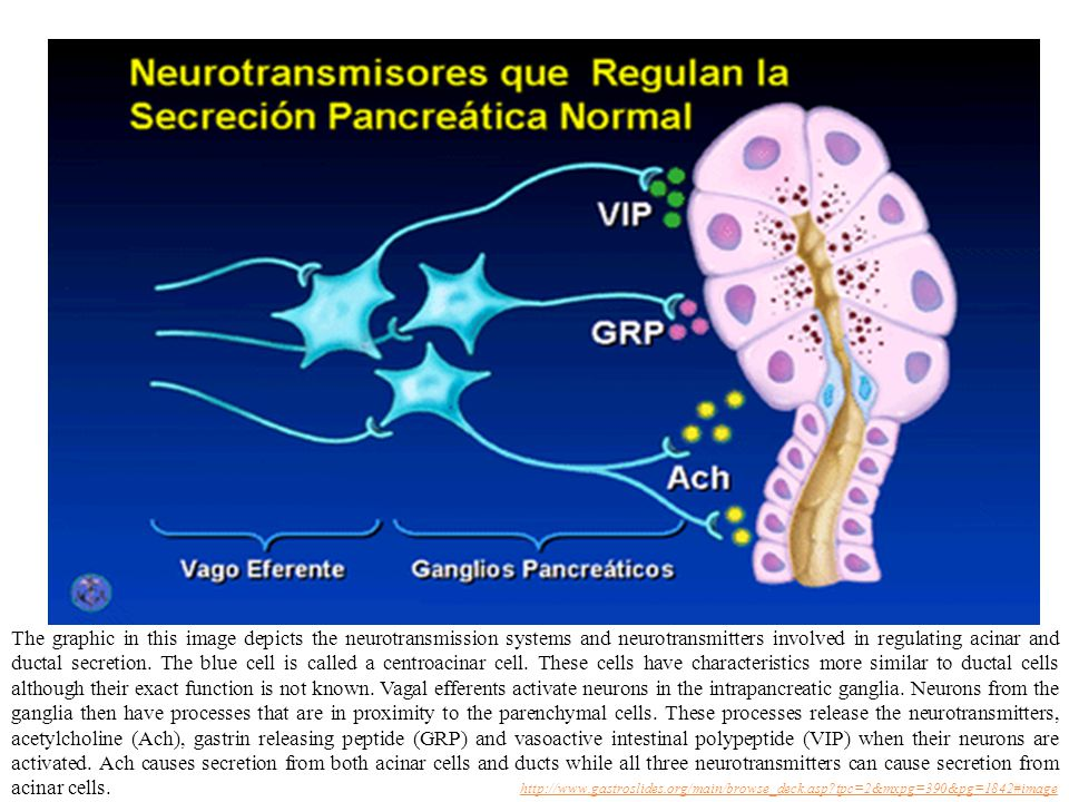 The graphic in this image depicts the neurotransmission systems and neurotransmitters involved in regulating acinar and ductal secretion. The blue cell is called a centroacinar cell. These cells have characteristics more similar to ductal cells although their exact function is not known. Vagal efferents activate neurons in the intrapancreatic ganglia. Neurons from the ganglia then have processes that are in proximity to the parenchymal cells. These processes release the neurotransmitters, acetylcholine (Ach), gastrin releasing peptide (GRP) and vasoactive intestinal polypeptide (VIP) when their neurons are activated. Ach causes secretion from both acinar cells and ducts while all three neurotransmitters can cause secretion from acinar cells.