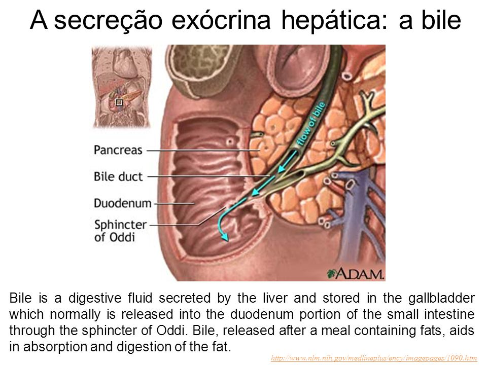 A secreção exócrina hepática: a bile