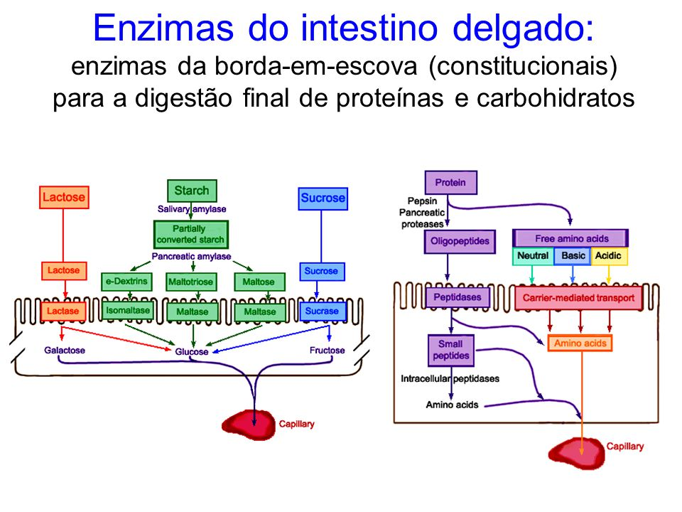 Enzimas do intestino delgado: