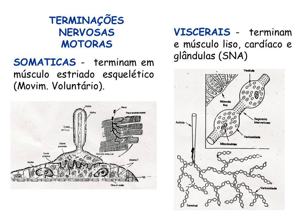 TERMINAÇÕES NERVOSAS MOTORAS. VISCERAIS - terminam e músculo liso, cardíaco e glândulas (SNA)