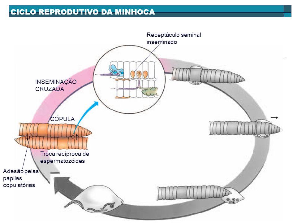 CICLO REPRODUTIVO DA MINHOCA