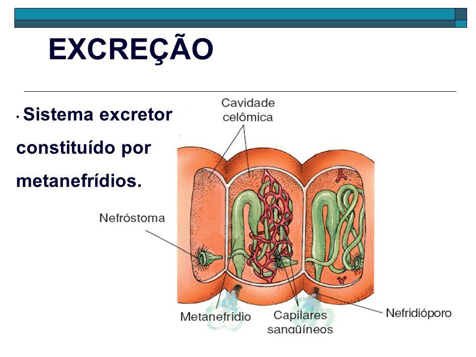 EXCREÇÃO Sistema excretor constituído por metanefrídios.