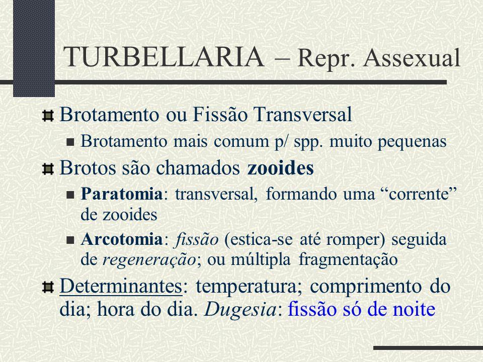 TURBELLARIA – Repr. Assexual