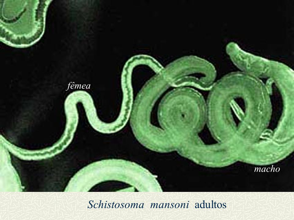 Schistosoma mansoni adultos