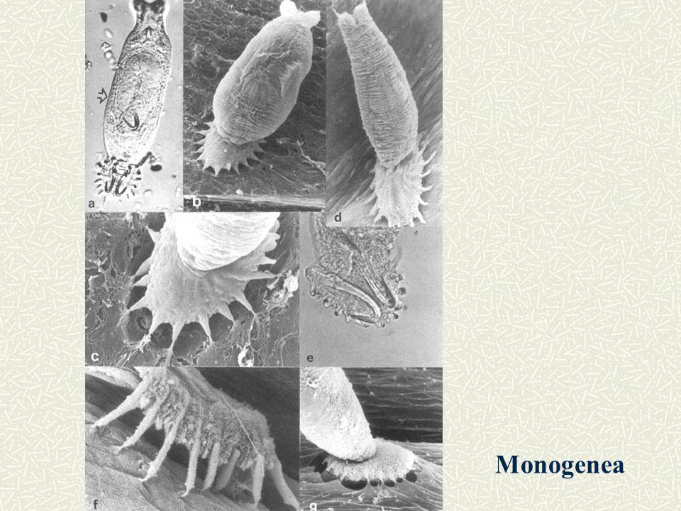 Monogenea
