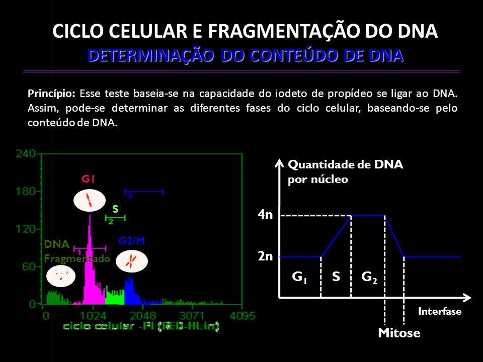 CICLO CELULAR E FRAGMENTAÇÃO DO DNA DETERMINAÇÃO DO CONTEÚDO DE DNA