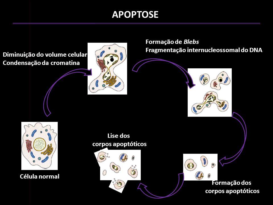 APOPTOSE Formação de Blebs Fragmentação internucleossomal do DNA