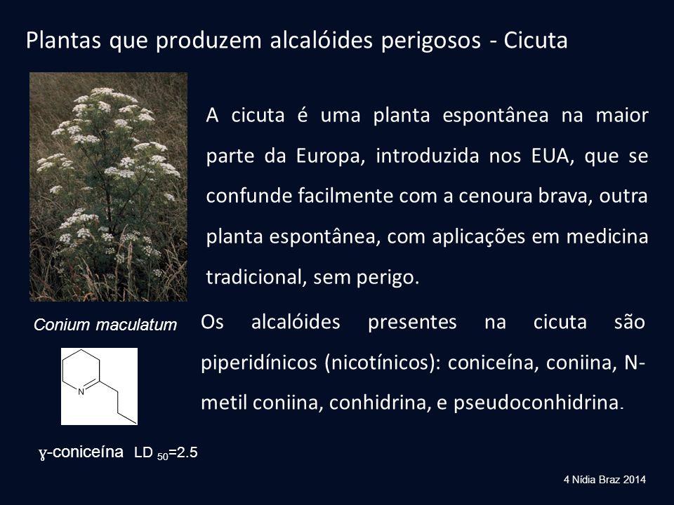 Plantas que produzem alcalóides perigosos - Cicuta