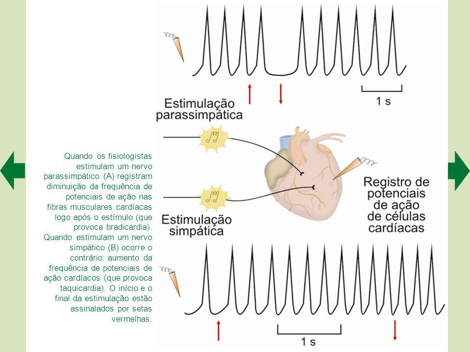 Quando os fisiologistas estimulam um nervo parassimpático (A) registram diminuição da frequência de potenciais de ação nas fibras musculares cardíacas logo após o estímulo (que provoca bradicardia).