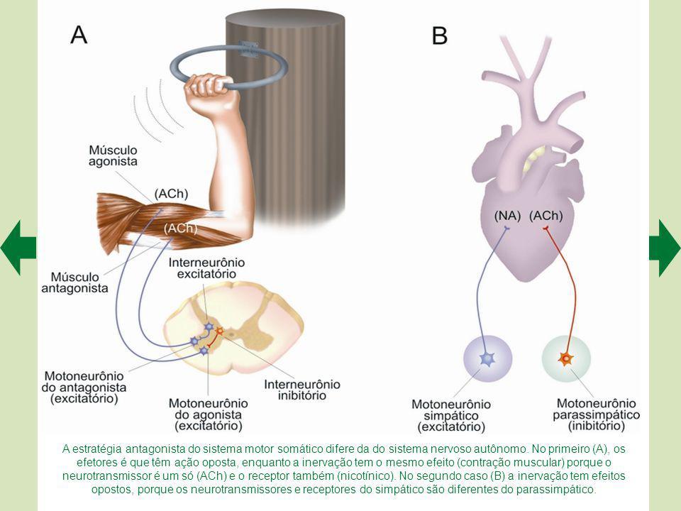 A estratégia antagonista do sistema motor somático difere da do sistema nervoso autônomo.