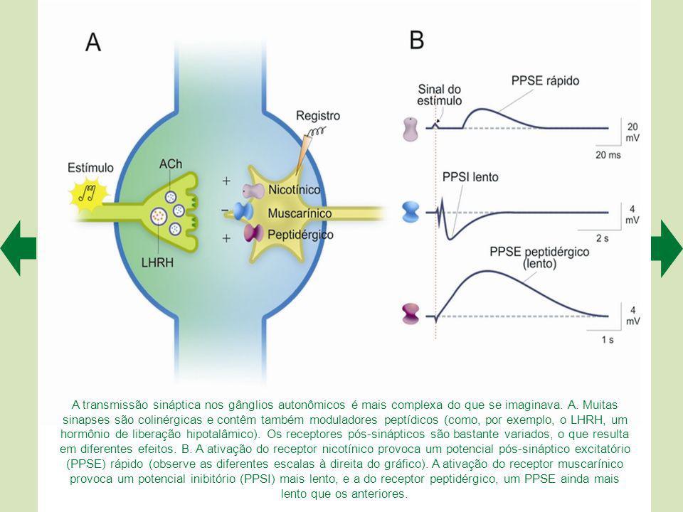 A transmissão sináptica nos gânglios autonômicos é mais complexa do que se imaginava.