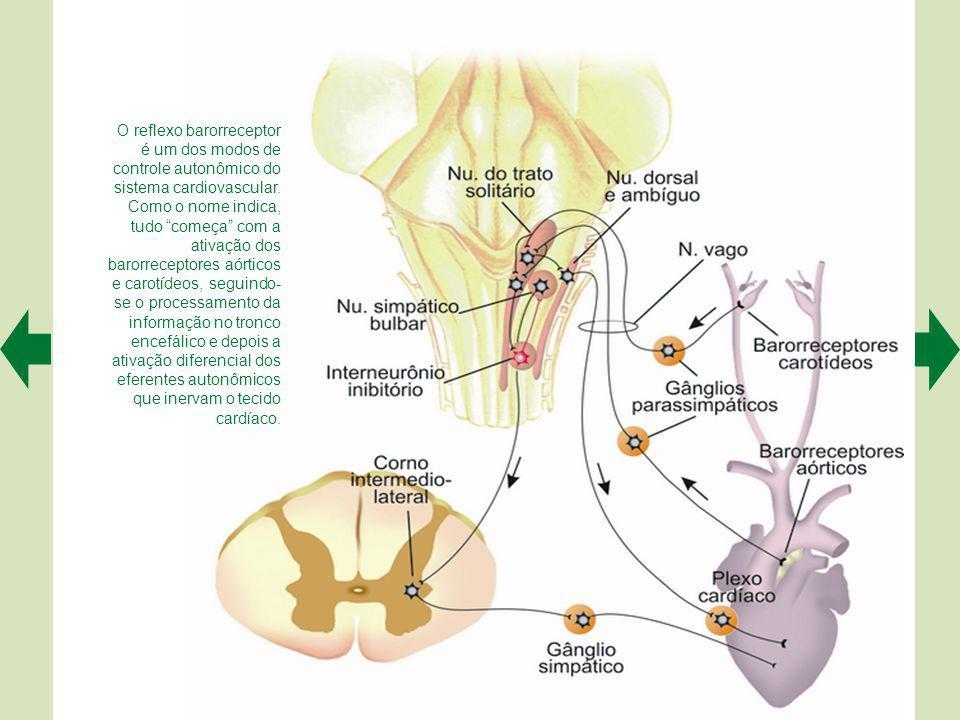 O reflexo barorreceptor é um dos modos de controle autonômico do sistema cardiovascular.