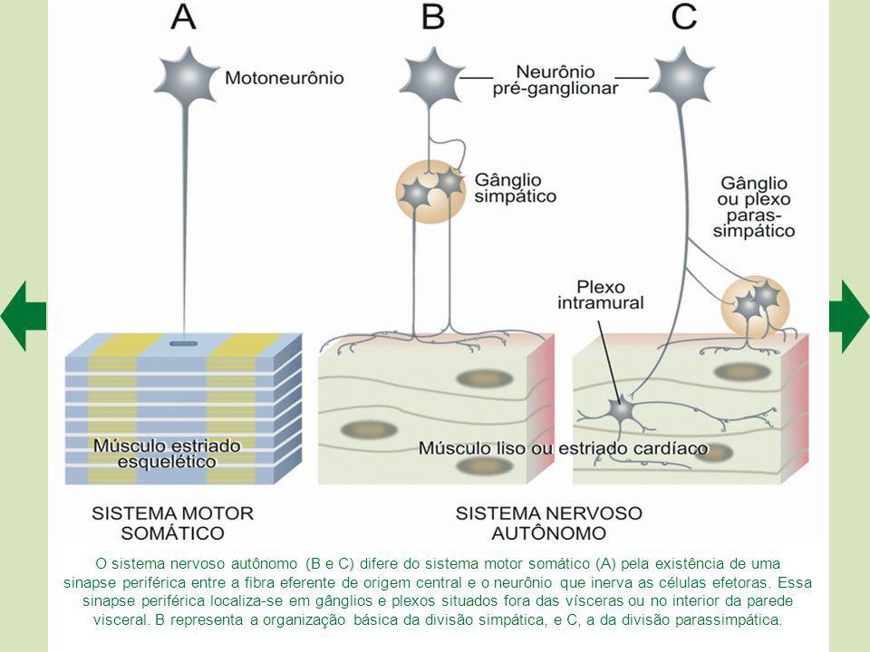 O sistema nervoso autônomo (B e C) difere do sistema motor somático (A) pela existência de uma