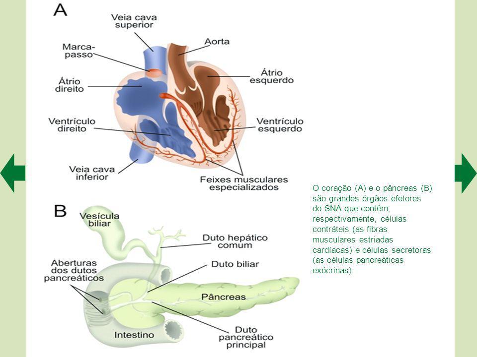 O coração (A) e o pâncreas (B) são grandes órgãos efetores do SNA que contêm, respectivamente, células contráteis (as fibras musculares estriadas cardíacas) e células secretoras (as células pancreáticas exócrinas).
