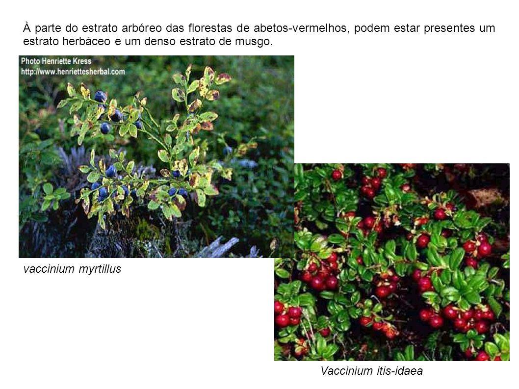 À parte do estrato arbóreo das florestas de abetos-vermelhos, podem estar presentes um estrato herbáceo e um denso estrato de musgo.