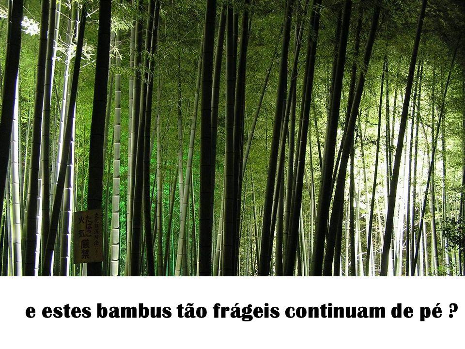 …e estes bambus tão frágeis continuam de pé