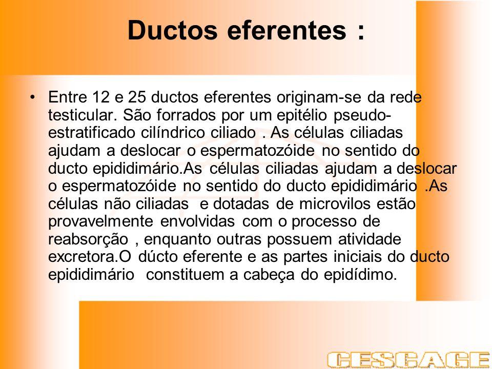 Ductos eferentes :