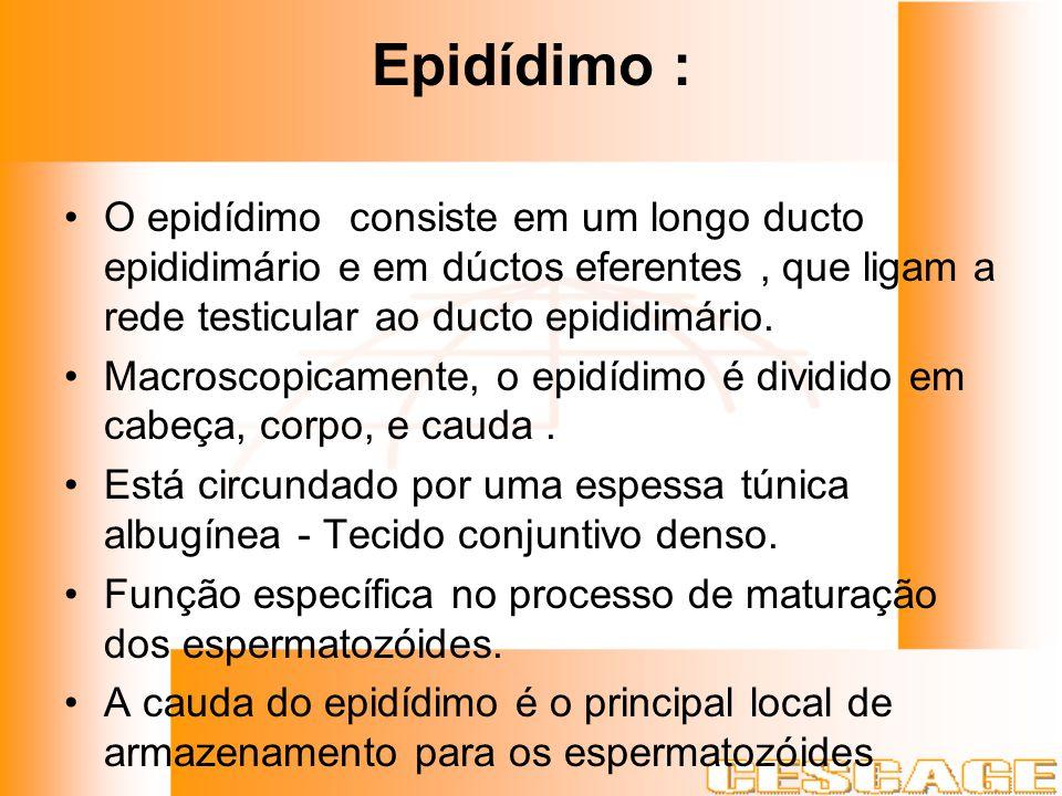 Epidídimo : O epidídimo consiste em um longo ducto epididimário e em dúctos eferentes , que ligam a rede testicular ao ducto epididimário.