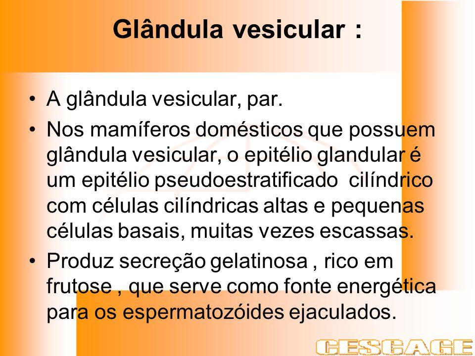 Glândula vesicular : A glândula vesicular, par.
