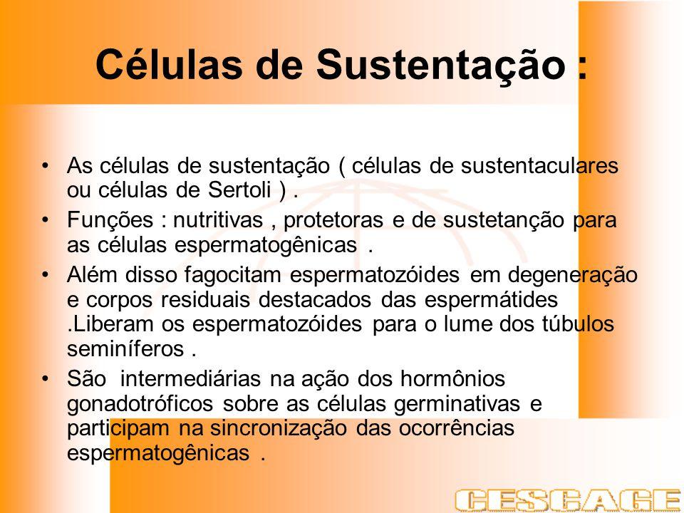 Células de Sustentação :