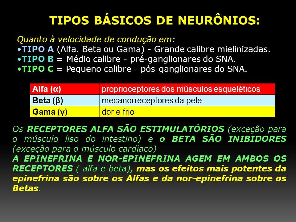 TIPOS BÁSICOS DE NEURÔNIOS: