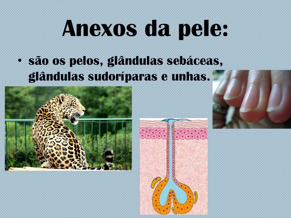 Anexos da pele: são os pelos, glândulas sebáceas, glândulas sudoríparas e unhas.